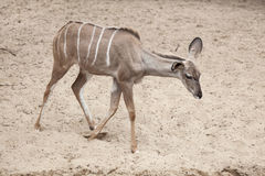Greater kudu Tragelaphus strepsiceros. Stock Photography