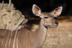 Greater kudu, Tragelaphus strepsiceros is a woodland antelope royalty free stock photos