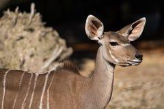 Greater kudu, Tragelaphus strepsiceros is a woodland antelope stock photos