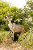 Greater Kudu - Tragelaphus strepsiceros Royalty Free Stock Photography