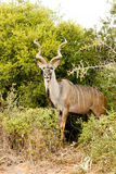 Greater Kudu - Tragelaphus strepsiceros Royalty Free Stock Photo