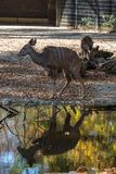 Greater kudu, Tragelaphus strepsiceros is a woodland antelope stock image