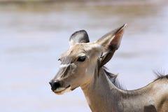 Greater kudu (Tragelaphus strepsicerus) female Royalty Free Stock Image