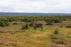 Greater kudu walking on the savanna near shrubs for protection in Addo Elephant Park. South Africa stock photos