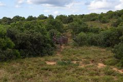 Greater kudu walking on the savanna near shrubs for protection in Addo Elephant Park. South Africa stock images
