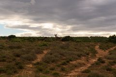 Greater kudu walking on the savanna near shrubs for protection in Addo Elephant Park. South Africa stock image