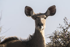 Greater Kudu at a waterhole Stock Photos