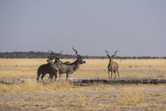 Greater Kudu at a waterhole Stock Image