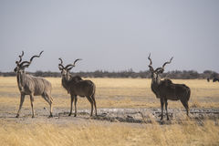 Greater Kudu at a waterhole Stock Images
