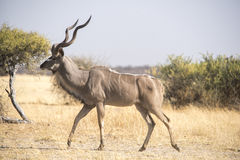 Greater Kudu at a waterhole Royalty Free Stock Photos