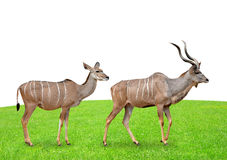 Greater kudu. On white background Royalty Free Stock Images