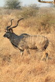 Greater Kudu royalty free stock photography