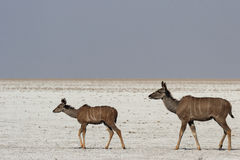 Greater Kudus Stock Photo