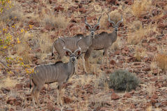 Greater Kudus stock images