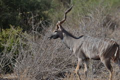 Greater Kudus in the brush stock image