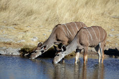 Greater kudus drinking Royalty Free Stock Photos