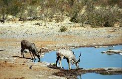 Greater kudus, Etosha National Park, Namibia Royalty Free Stock Photos