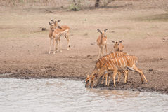 Greater kudus and impalas Stock Image