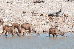 Greater kudus, Tragelaphus strepsiceros, drinking water Royalty Free Stock Photo
