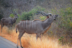 Greater kudus (Tragelaphus strepsiceros) Stock Photos