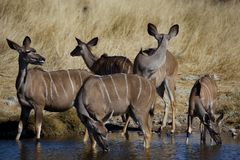 Greater kudus at the waterhole Stock Photos