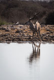 Greater male kudu being surprised at waterhole. And looking up for potential attacker. Reflection in the water. Etosha National Park, Namibia, Africa royalty free stock images