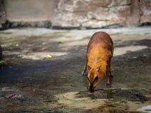Greater mouse-deer tragulus napu examines a rock plain stock photos