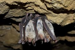 Greater mouse eared bat (Myotis myotis) Stock Photography