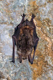The greater mouse-eared bat (Myotis myotis) Stock Images