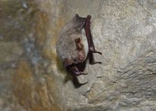 Greater mouse-eared bat ( Myotis myotis) Stock Images