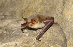 Greater mouse-eared bat ( Myotis myotis) stock photos