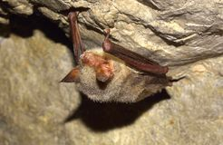 Greater mouse-eared bat ( Myotis myotis) Stock Image