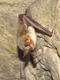 Greater mouse-eared bat ( Myotis myotis) Stock Images