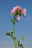Greater musk-mallow (Malva alcea). Colorful and crisp image of greater musk-mallow (Malva alcea Royalty Free Stock Image