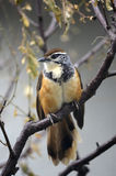 Greater Necklaced Laughing Thrush Royalty Free Stock Photo