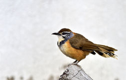 Greater Necklaced Laughing Thrush Stock Photos