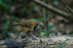 Greater Necklaced Laughingthrush Garrulax pectoralis Royalty Free Stock Images