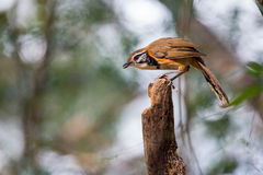 Greater Necklaced Laughingthrush searching for food Stock Photos
