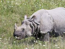 Greater One-horned Asian Rhino. Ceros or Indian Rhino grazing on a grassy slope Royalty Free Stock Photography