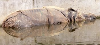 Greater one-horned rhinoceros Stock Photo