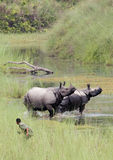 Greater One-horned Rhinoceros at Bardia national park, Nepal Royalty Free Stock Photo