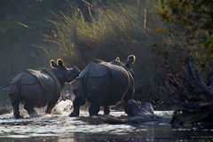 Greater One-horned Rhinoceros in Bardia, Nepal Royalty Free Stock Image