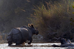 Greater One-horned Rhinoceros in Bardia, Nepal Royalty Free Stock Photos