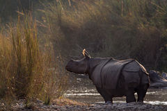 Greater One-horned Rhinoceros in Bardia, Nepal Royalty Free Stock Images