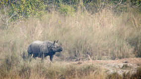 Greater One-horned Rhinoceros in Bardia, Nepal Royalty Free Stock Photography