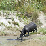 Greater one horned rhinoceros in Bardia, Nepal Stock Photos