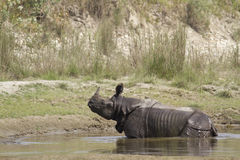 Greater one horned rhinoceros in Bardia, Nepal Royalty Free Stock Image