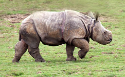 Greater One Horned Rhinoceros Calf. A Greater One Horned Rhinoceros calf in a field royalty free stock photo