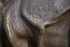 Greater one-horned rhinoceros Stock Images