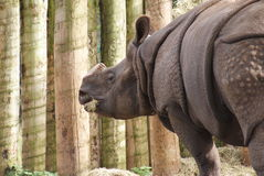 Greater One-horned Rhinoceros - Rhinoceros unicornis Royalty Free Stock Photography